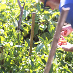 pomodori - orto5