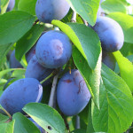 plums-600x450